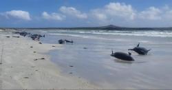 عشرات الحيتان نفقت على شواطئ جزيرة بنيوزيلندا